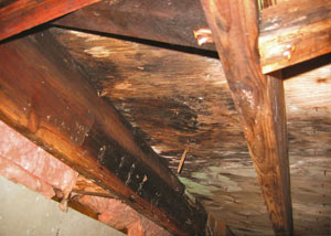 Extensive crawl space rot damage growing in La Harpe